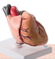 hjertet sidder i venstre side