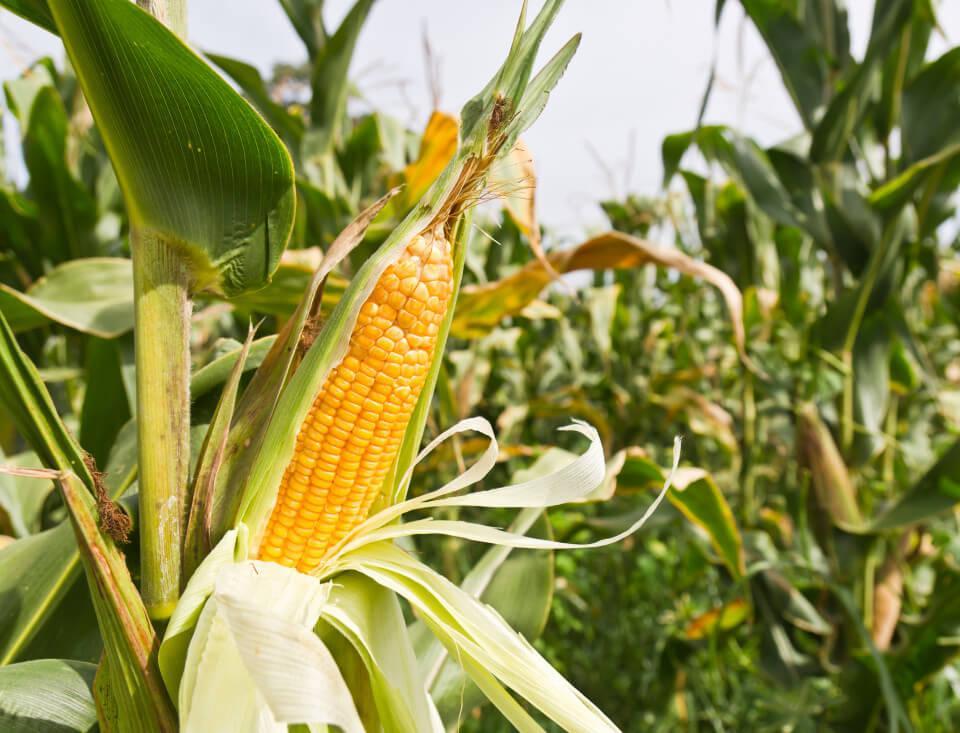 GMO majs Naturli