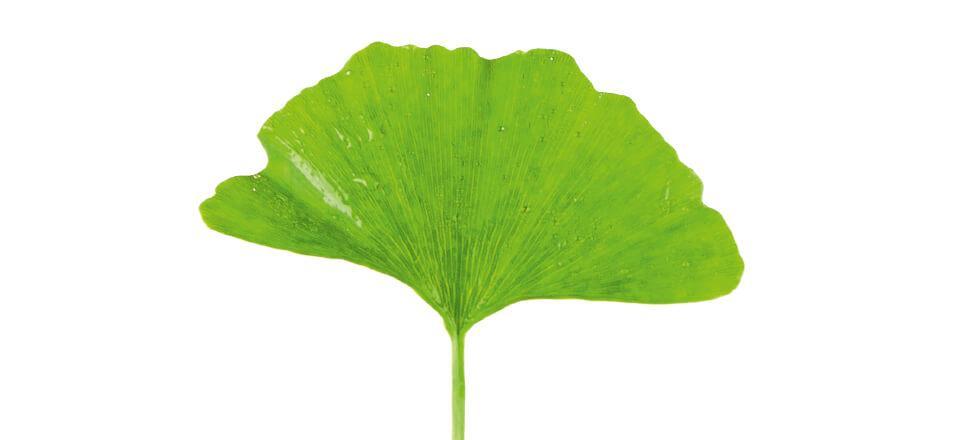 Planten Gingko Biloba er velegnet til at booste vores kredsløb