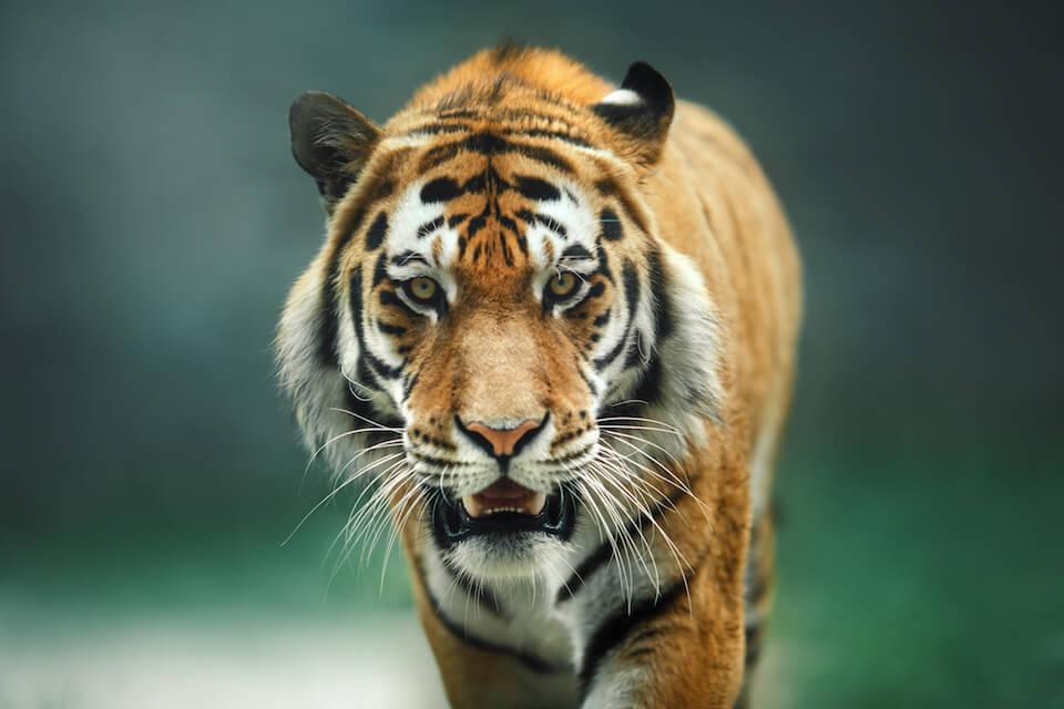 Kan salget af tigerprodukter komme til at koste de sidste vilde tigre livet?