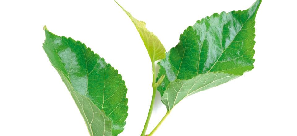 Blodsukker-stabiliserende morbærblade mod diabetes